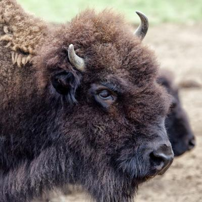 USA, Montana, Moiese. Bison portrait at National Bison Range. by Jaynes Gallery