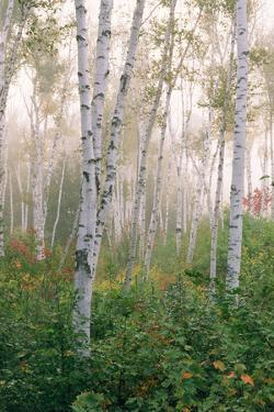 USA, New Hampshire. Birch Trees in Clearing Fog by Jaynes Gallery