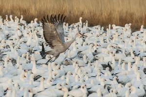 USA, New Mexico, Bosque Del Apache Nwr. Sandhill Crane and Snow Geese by Jaynes Gallery