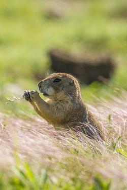 USA, Oklahoma, Wichita Mountains National Wildlife Refuge. Prairie dog eating. by Jaynes Gallery