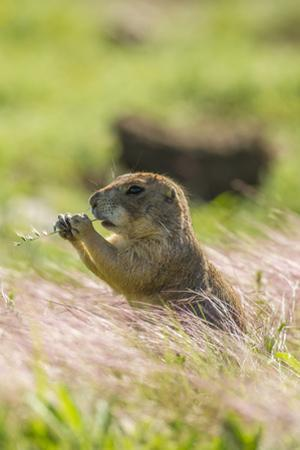 USA, Oklahoma, Wichita Mountains National Wildlife Refuge. Prairie dog eating. by Jaynes Gallery
