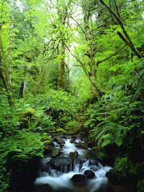 USA, Oregon, a Stream in an Old-Growth Forest by Jaynes Gallery