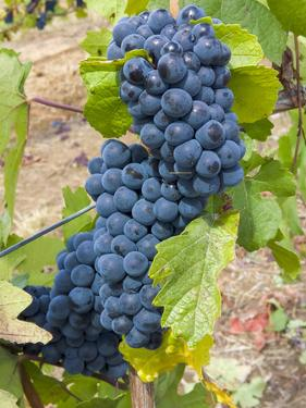 USA, Oregon, Gaston. Pinot noir grapes on the vine. by Jaynes Gallery