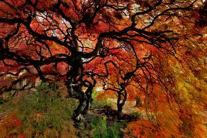 USA, Oregon, Portland. Japanese lace maple trees in garden. by Jaynes Gallery