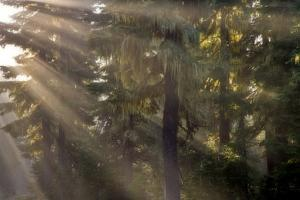 USA, Oregon, Willamette National Forest. God rays illumine foggy forest. by Jaynes Gallery