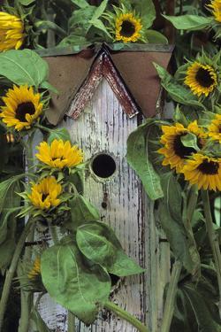 USA, Pennsylvania. Birdhouse and Garden Sunflowers by Jaynes Gallery