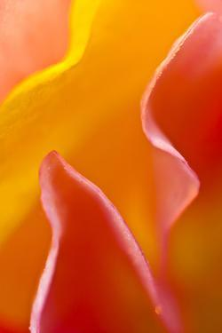 USA, Pennsylvania. Close Up of Petal Abstract by Jaynes Gallery