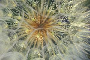USA, Pennsylvania. Dandelion Seedhead Close Up by Jaynes Gallery