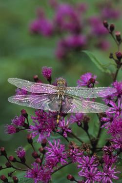 USA, Pennsylvania. Dragonfly on Joe Pye Weed by Jaynes Gallery