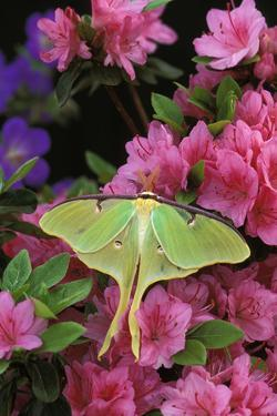 USA, Pennsylvania. Luna Moth on Pink Clematis by Jaynes Gallery