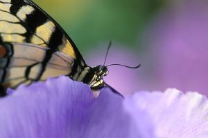 USA, Pennsylvania. Tiger Swallowtail Butterfly on Petunia Flower by Jaynes Gallery