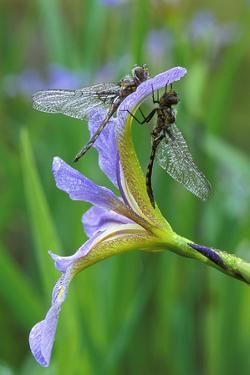 USA, Pennsylvania. Two Dragonflies on Iris Flower by Jaynes Gallery