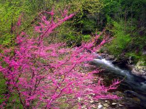 USA, Tennessee, Great Smoky Mountain Redbud Wildflowers by Jaynes Gallery