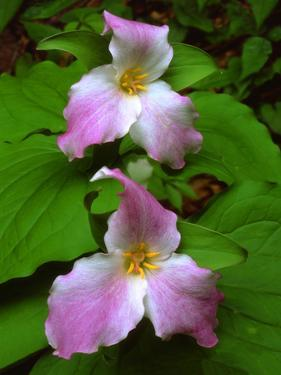 USA, Tennessee, Great Smoky Mountains Trillium Wildflowers by Jaynes Gallery