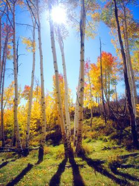 USA, Utah, Fall Colors of Aspen Trees by Jaynes Gallery