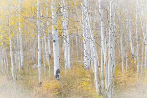 USA, Utah, Manti-La Sal National Forest. Aspen forest scenic. by Jaynes Gallery
