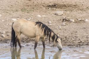 USA, Utah, Tooele County. Wild horse drinking from waterhole. by Jaynes Gallery