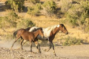 USA, Utah, Tooele County. Wild mare horse and colt running. by Jaynes Gallery