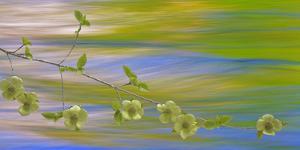 USA, Washington, Icicle Creek. Pacific dogwood over creek. by Jaynes Gallery