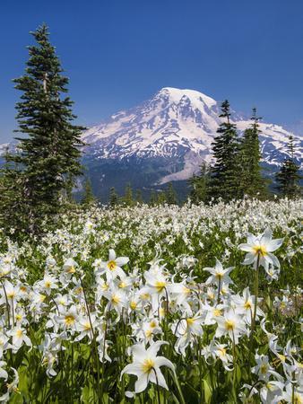 USA, Washington, Mount Rainier NP. Avalanche Lilies and Mount Rainier