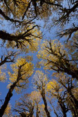 USA, Washington, Olympic National Park. Looking up at stand of big leaf maple trees. by Jaynes Gallery