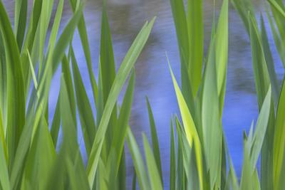 USA, Washington State, Bainbridge Island. Cattails on pond in spring. by Jaynes Gallery