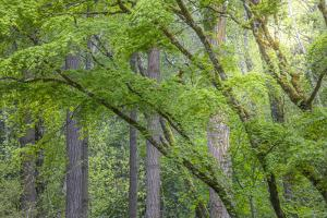 USA, Washington State, Bainbridge Island. Maple and Douglas fir trees in forest. by Jaynes Gallery