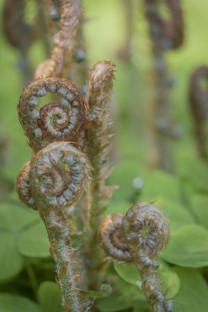USA, Washington State, Bainbridge Island. Sword fern fronds and oxalis in spring. by Jaynes Gallery