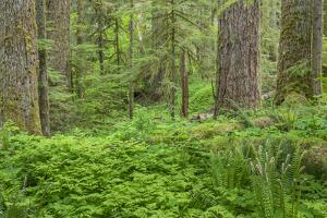 USA, Washington State, Gifford Pinchot National Forest. Old growth forest with ferns. by Jaynes Gallery