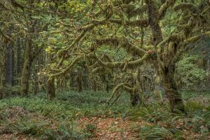 USA, Washington State, Olympic National Forest. Mossy trees and ferns. by Jaynes Gallery