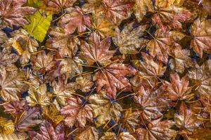 USA, Washington State, Olympic National Park. Fall vine maple leaves floating in pool. by Jaynes Gallery