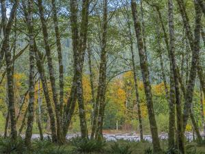 USA, Washington State, Olympic National Park. Forest along Quinault River. by Jaynes Gallery
