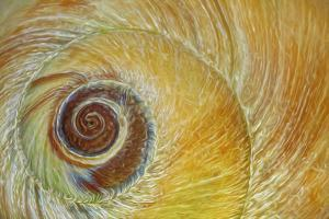 USA, Washington State, Seabeck. Abstract of moon snail shell close-up. by Jaynes Gallery
