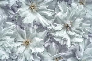 USA, Washington State, Seabeck. Cherry blossoms abstract. by Jaynes Gallery