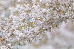 USA, Washington State, Seabeck. Cherry tree blossoms. by Jaynes Gallery