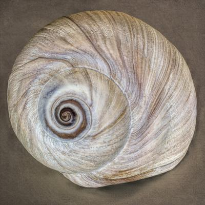 USA, Washington State, Seabeck. Moon snail shell close-up. by Jaynes Gallery