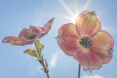 USA, Washington State, Seabeck. Pink dogwood blossoms. by Jaynes Gallery