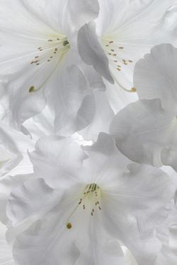 USA, Washington State, Seabeck. White rhododendron blossoms. by Jaynes Gallery