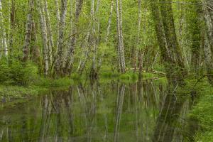 USA, Washington State, Skokomish River Valley. Alder trees along slow moving creek. by Jaynes Gallery