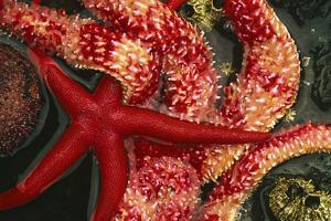 USA, Washington, Tongue Point. Blood and Rainbow Star in Tide Pool by Jaynes Gallery