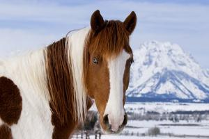 USA, Wyoming, Grand Teton National Park. Pinto Horse and Mount Moran in Winter by Jaynes Gallery