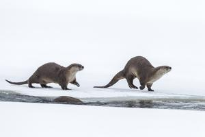 USA, Wyoming, Grand Teton National Park. River otters on snow. by Jaynes Gallery