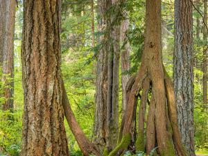 Washington State, Millersylvainia State Park. Odd Shape of Western Red Cedar Tree by Jaynes Gallery