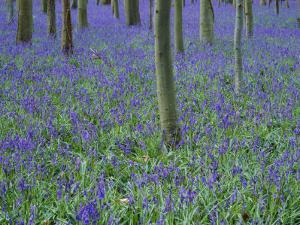 A Bluebell Wood in Sussex, England, UK by Jean Brooks