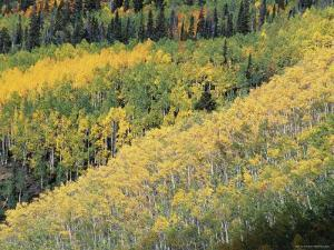 Aspen Trees in the Fall, San Juan Skyway, Colorado, USA by Jean Brooks