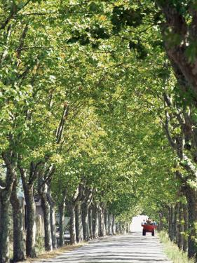 Avenue of Plane Trees, Lancon, Bouches Du Rhone, Provence, France by Jean Brooks