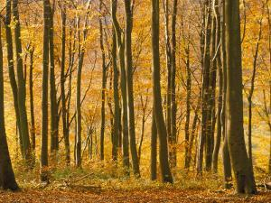 Beech Trees in Autumn, Queen Elizabeth Country Park, Hampshire, England, United Kingdom by Jean Brooks