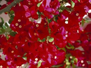 Close-Up of Pink Bougainvillea Flowers, Andalucia, Spain by Jean Brooks