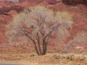 Cottonwood Tree, Capitol Reef National Park, Utah, United States of America, North America by Jean Brooks