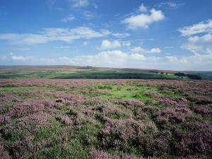 Heather on the Moors, North Yorkshire, England, United Kingdom by Jean Brooks